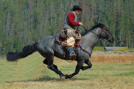 cowboy on horse: Cowboy on Blue Roan Horse Running Through Field