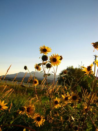 wasatch: Sunflowers by the Wasatch Mountains, Heber Valley, Utah. Stock Photo