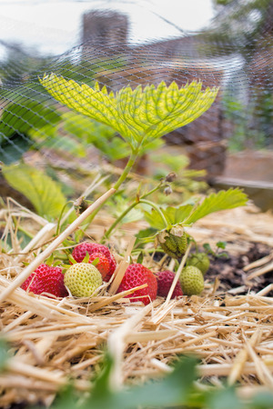 Home Grown Strawberries, fruit and vegetable garden.