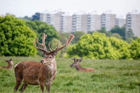 Deer in city park. Urban wildlife