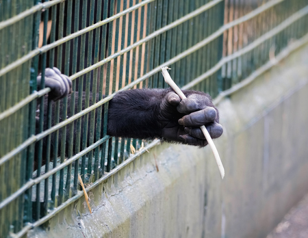 Young ape reaching through bars of cage.