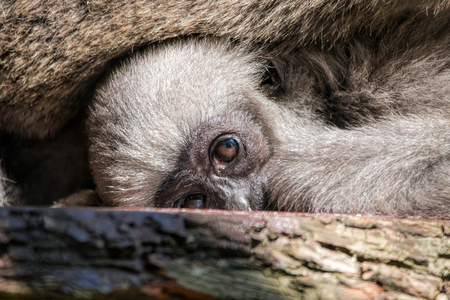 silvery: Young Silvery Moloch Gibbon