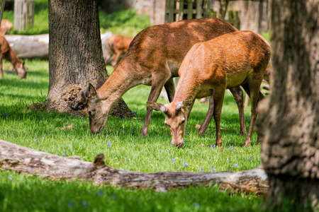 Young female deer graze in sunny forest meadow. Beautiful nature