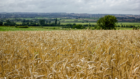 Golden Wheat Field. Rolling Countryside
