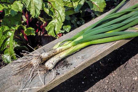 Flesh Organic Scallions. Vegetable Garden White Spring Onions.