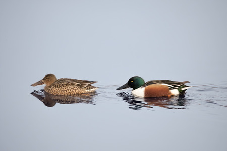 Northern Shoveler duck. Male and female on water. (Anas clypeata) Stock Photo