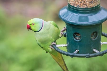 Rose-Ringed Parakeet on bird feeder (Psittacula Krameri)