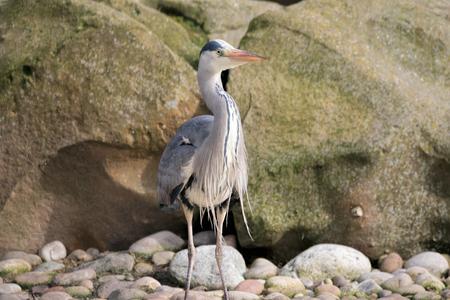 Grey Heron Bird. Ardea cinerea