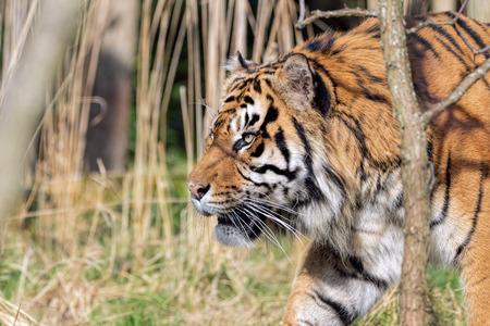 Sumatran Tiger Hunting In Grassland.