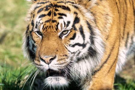 sumatran: Female Sumatran Tiger. Endangered Animal Stock Photo