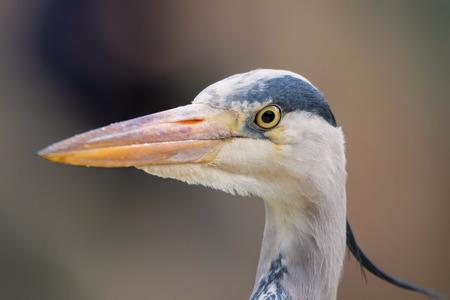 Grey Heron Head Close Up. Ardea cinerea