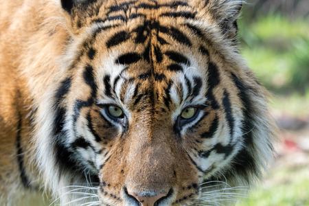 Sumatran Tiger Close Up. Eye of the tiger.