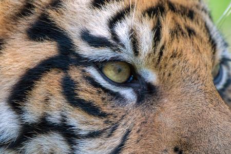 Sumatran Tiger Close Up. Eye of the tiger.