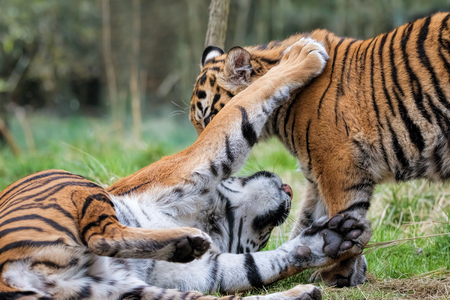 Sumatran Tiger Cubs Playing Together