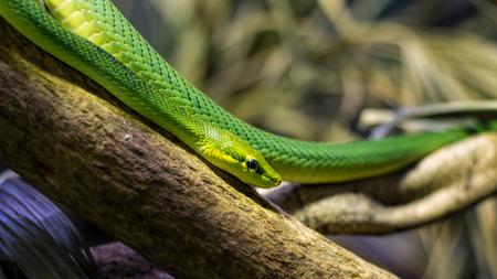 Red-tailed rat snake. Gonyosoma oxycephalum Imagens