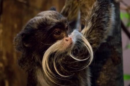 Emperor Tamarin Monkey In Jungle Environment. (Saguinus imperator)