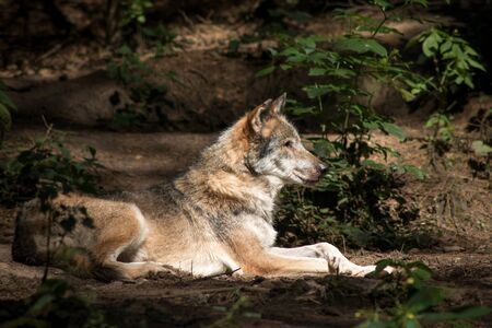 Wolf resting in the Forest