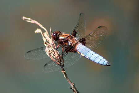 Male Broad-Bodied Chaser Dragonfly sitting on a Branch