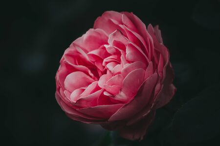 Close up of a beautiful Rose flower