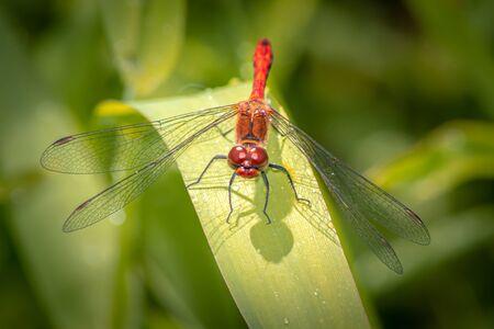Closeup of a male Ruddy Darter - Dragonfly