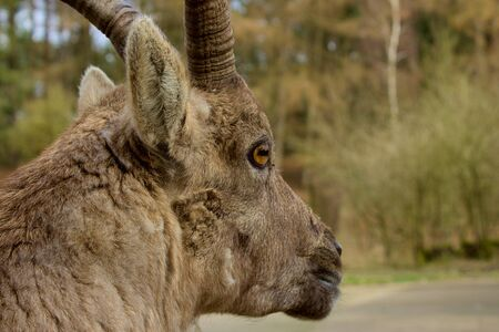 Portrait of a old male Ibex