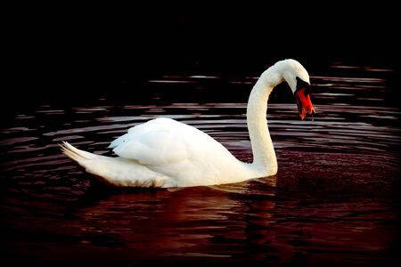 A beautiful white Swan swimming on a Fish Pond Foto de archivo