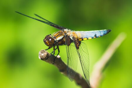 Broad-Bodied Chaser sitting on a Branch - Dragonfly
