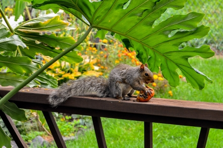 American gray squirrel eating a tomato photo