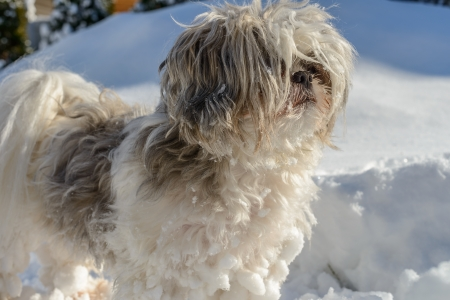 tzu: cute shih tzu is delighted to have fun in the snow Stock Photo