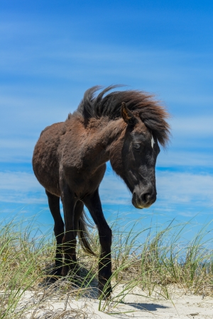 spanish mustang wild horse on the dunes in north carolina photo