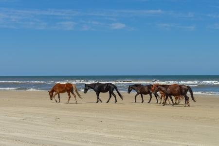 Spaanse mustangs wilde paarden op het strand in Noord-Carolina