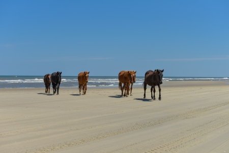 Spanish mustangs wild horses on the beach in north carolina photo