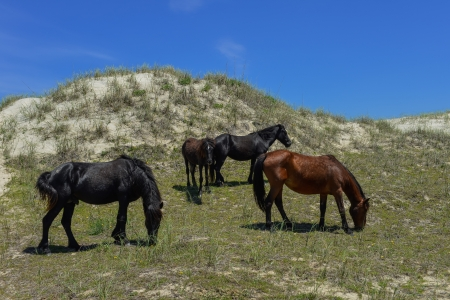 spanish mustangs wild horses on the dunes in north carolina photo