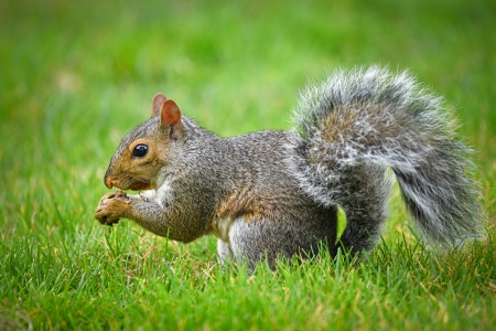 American gray squirrel eating a nut photo