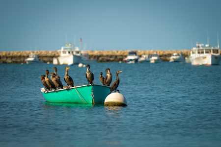 phalacrocoracidae: Family of cormorants resting on the boat