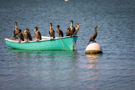 phalacrocoracidae: Group of cormorants resting on the boat