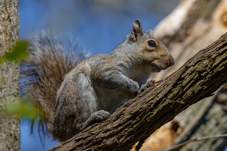 nibbles: An eastern gray squirrel rests on a tree branch