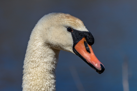 cygnus olor: Head of Mute swan (Cygnus olor) against blue water