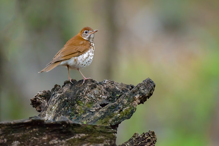 Veery standing on a mossy log.