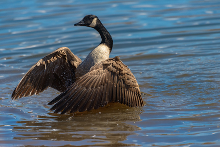 canadensis: Canada goose, Branta canadensis. Wildlife animal. close-up