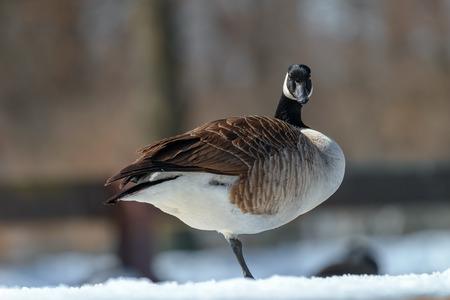 Canada goose, Branta canadensis. Wildlife animal. close-up