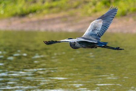 Great Blue Heron (Ardea cinerea) flying over the river Stock Photo