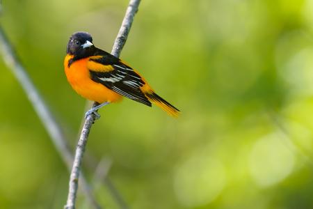 Male Baltimore Oriole perched on a branch. Reklamní fotografie - 93246334
