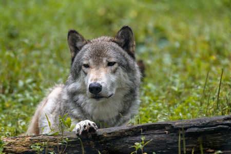 Close-up portrait of gray wolf (Canis lupus) with blurred background. Beautiful predator timber or western wolf lying on the ground