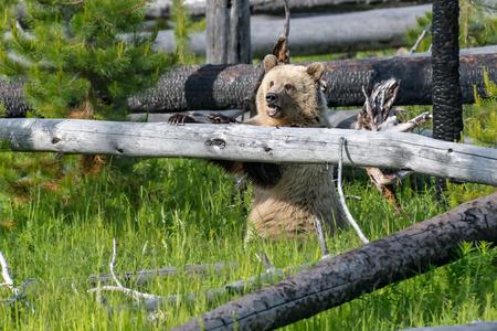 Young Grizzly Bear in Yellowstone National Park Wyoming. Zdjęcie Seryjne - 114929341