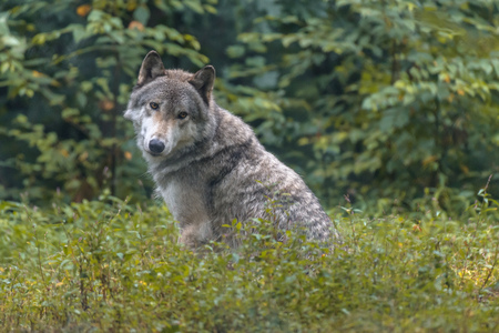 Close-up portrait of gray wolf (Canis lupus) with blurred background. Beautiful predator timber or western wolf lying on the ground Zdjęcie Seryjne - 114929347