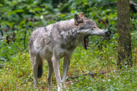 Close-up portrait of gray wolf (Canis lupus) with blurred background. Beautiful predator timber or western wolf Foto de archivo - 114929351
