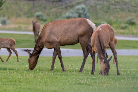 Female Elk  is eating grass along the road at Yellowstone National Park USA Zdjęcie Seryjne