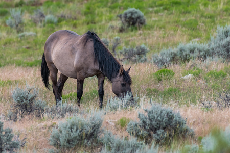 Wild Horses in the Pryor Mountains Wild Horse Range in Montana - Wyoming USA