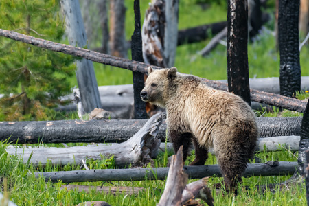 Young Grizzly Bear in Yellowstone National Park Wyoming.